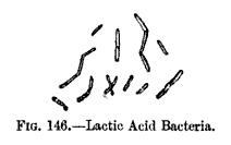 Fermentation - Lactic Acid Bacteria